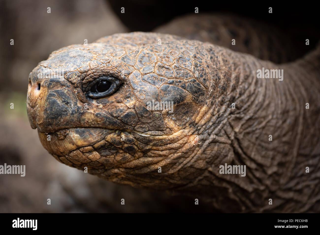 Tortuga Gigante Galápagos Foto de stock