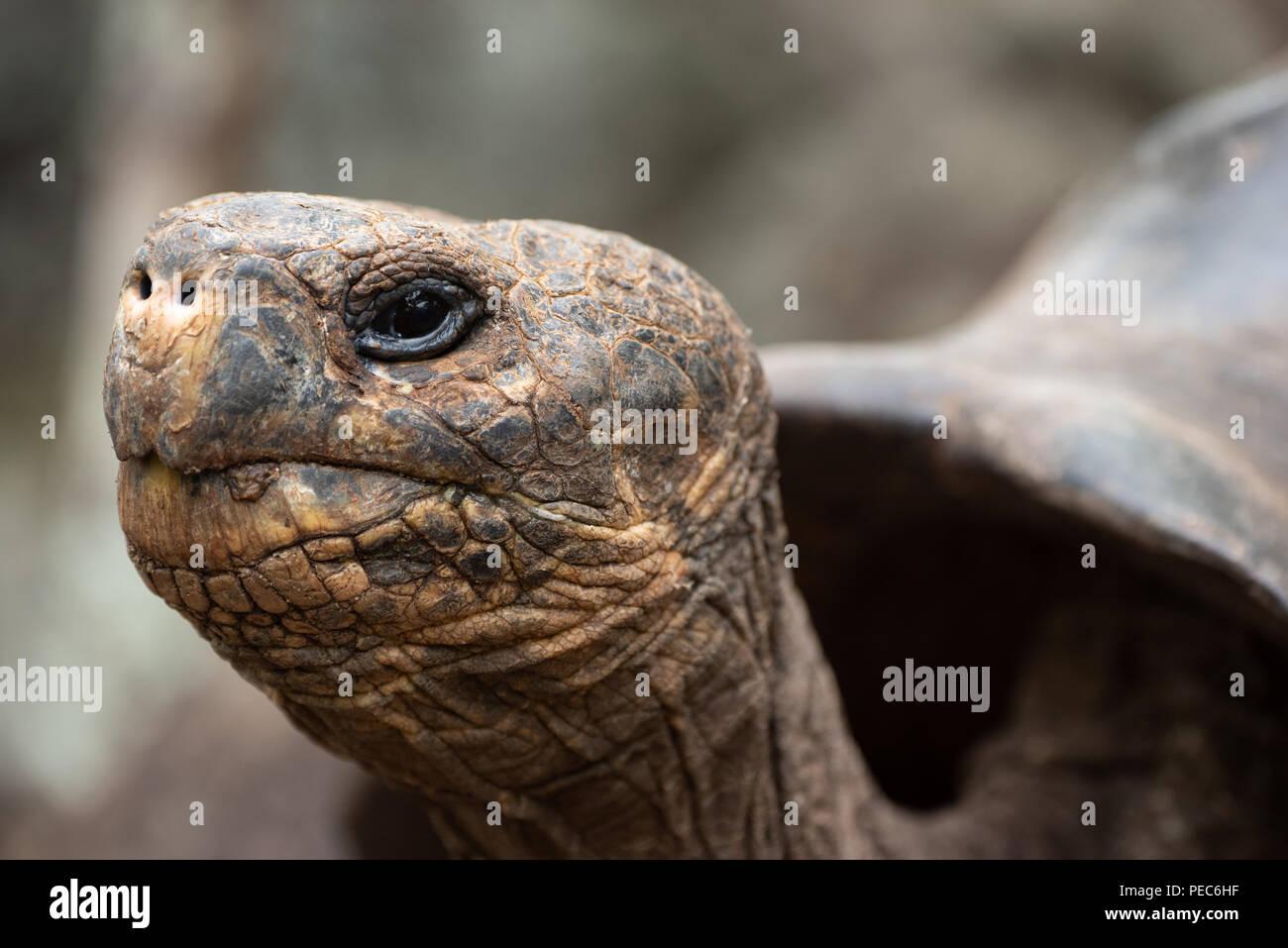 Tortuga Gigante Galápagos Imagen De Stock
