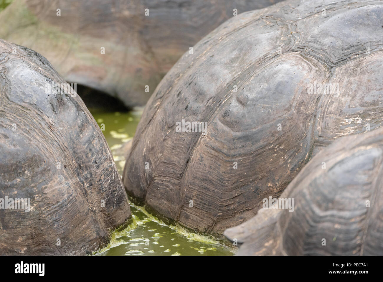 Close-up de conchas de tortuga gigante Galápagos Imagen De Stock