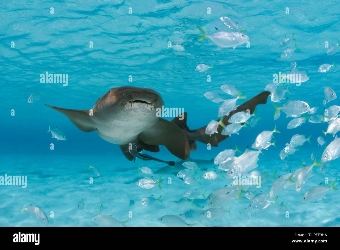 Este tiburón nodriza Ginglymostoma cirratum, está retratado con una escuela de juvinile jacks. Bahamas. Foto de stock
