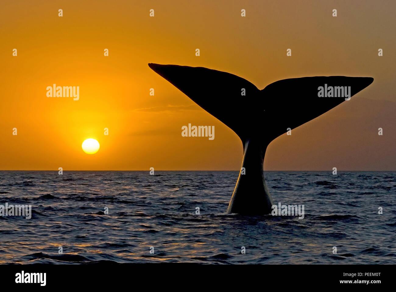 Descendente ballena franca austral (Eubalaena australis), Sunset, Península Valdés, Argentinia Imagen De Stock