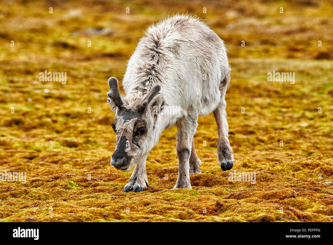 Jóvenes curiosos Svalbard los renos (Rangifer tarandus platyrhynchus), Svalbard o Spitsbergen, Europa Imagen De Stock