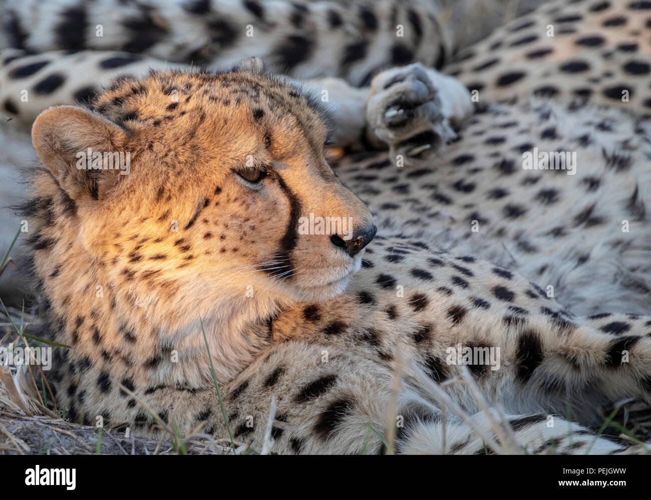 Cheetah descansando en la sombra con la cabeza iluminada por aislados rayos de sol de la tarde, el delta del Okavango, Botswana Foto de stock