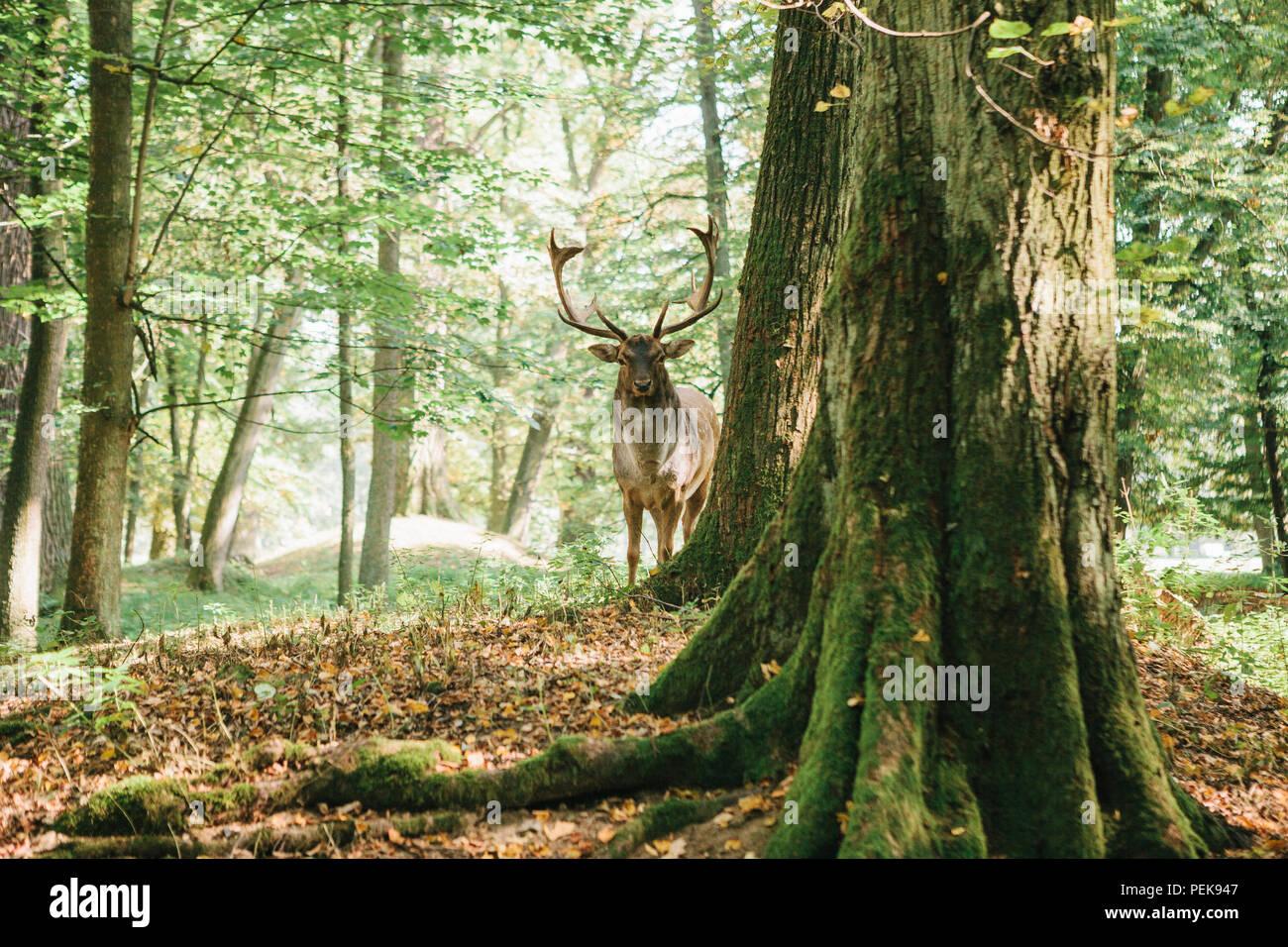 Bello ciervo con cuernos ramificada se asienta sobre una colina en un bosque de otoño entre árboles Foto de stock