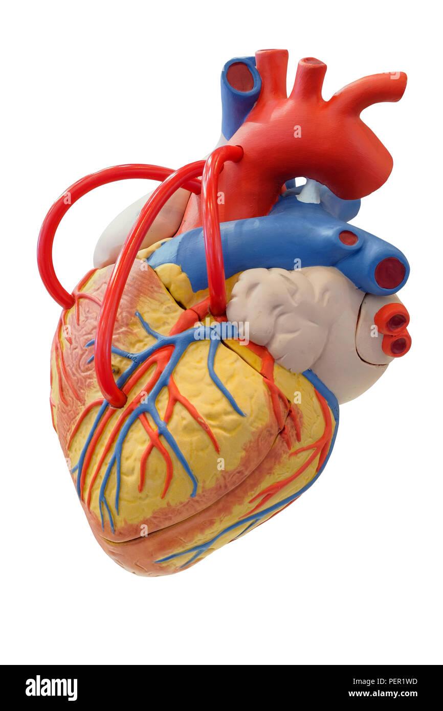 Human Cardiovascular System Imágenes De Stock & Human Cardiovascular ...