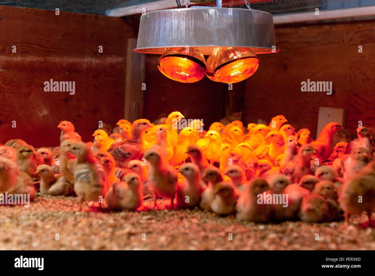 Filmación con poca luz Grupo de pollo en poca luz cálida en incubadora. Foto de stock