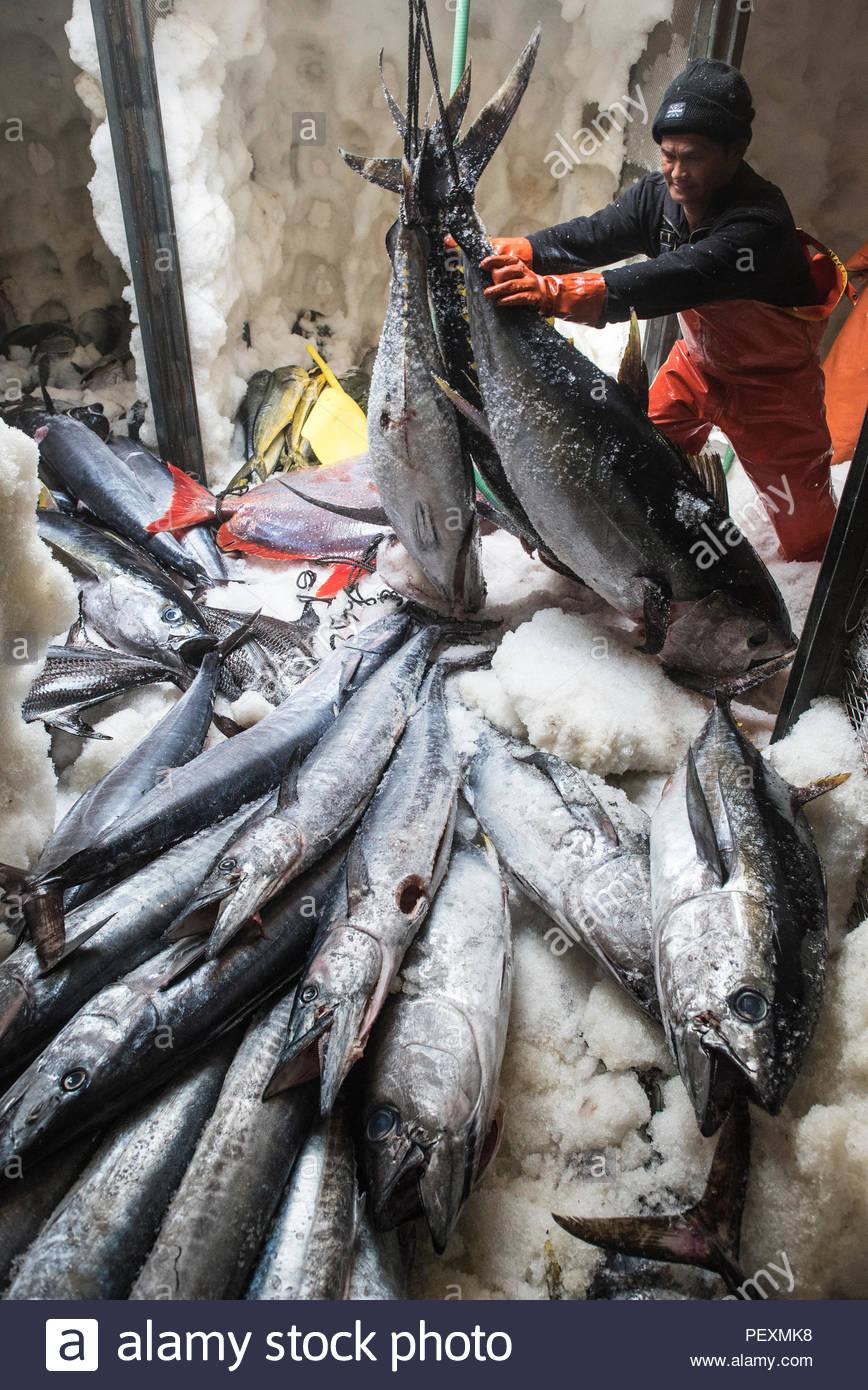 Marinero) moviendo la perca plateada de peces en torno congelador de barco de pesca, en San Diego, California, EE.UU. Imagen De Stock