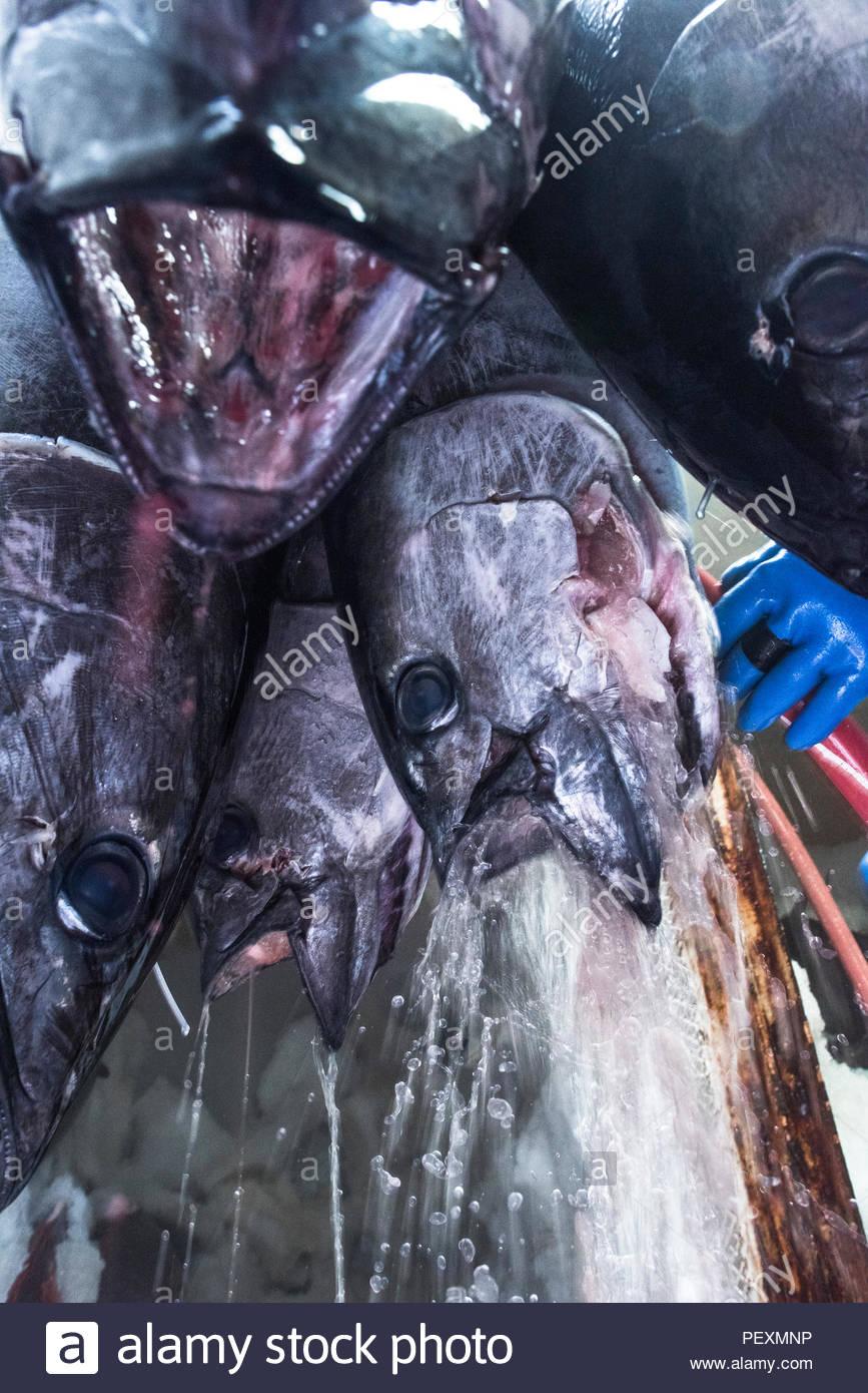 Los pescadores limpiando atún en barco de pesca, en San Diego, California, EE.UU. Imagen De Stock