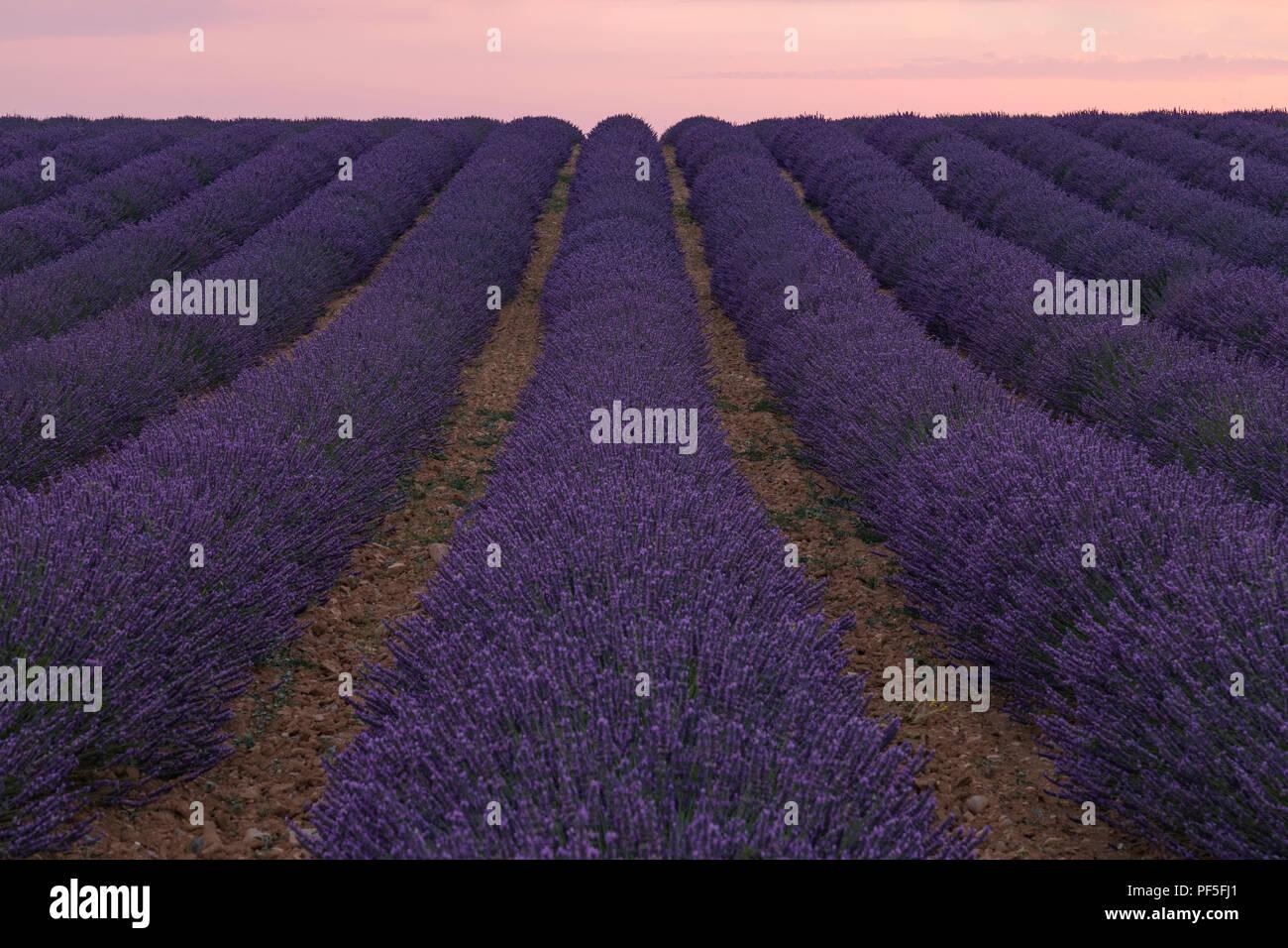 Un campo de lavanda en el sol vespertino en Provence, Francia Foto de stock
