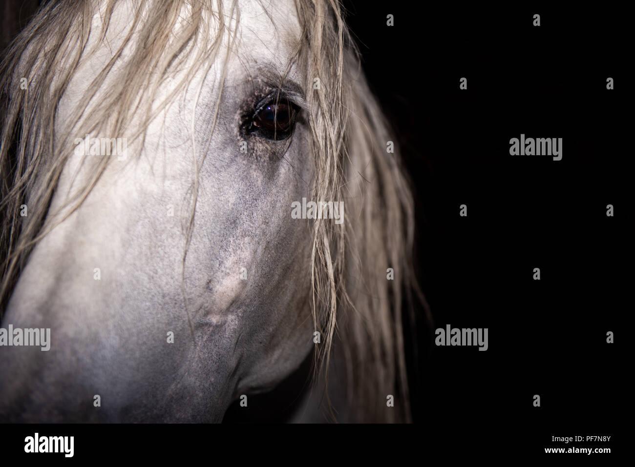 Caballo semental Andaluz Imagen De Stock