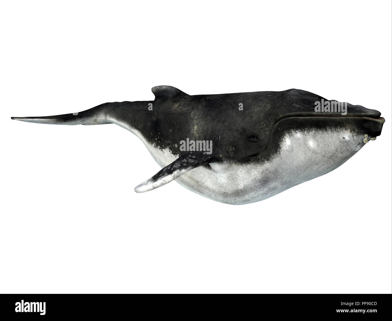 Ballena Jorobada con percebes - La ballena jorobada es una ballena con barbas y muchos organismos el enganche de un paseo como estas chin percebes. Foto de stock
