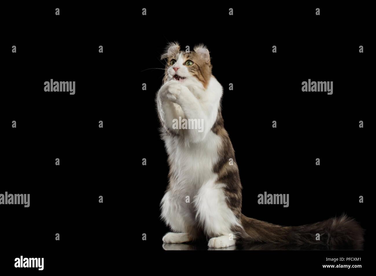Gracioso rizo americano raza de gato con orejas torcidas, de pie sobre las patas traseras y atrapar a sus zarpas como orar delante del fondo aislado negro Foto de stock