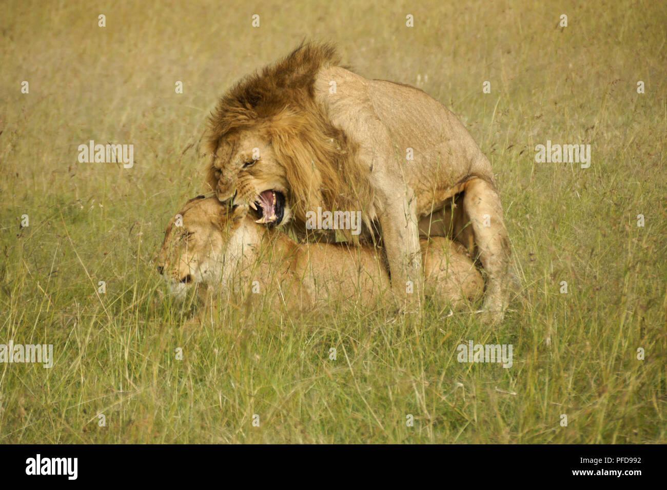 Acoplamiento de los leones en el césped largo, la reserva Masai Mara, Kenia Imagen De Stock