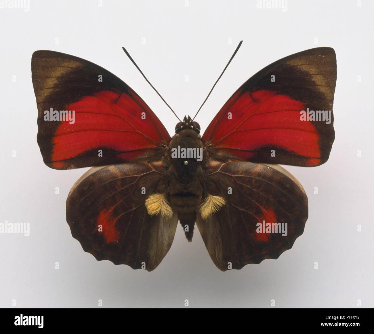 Espécimen, características externas de una mariposa, Schulze's agrias, Claudia agrias, rojo y negro. Foto de stock