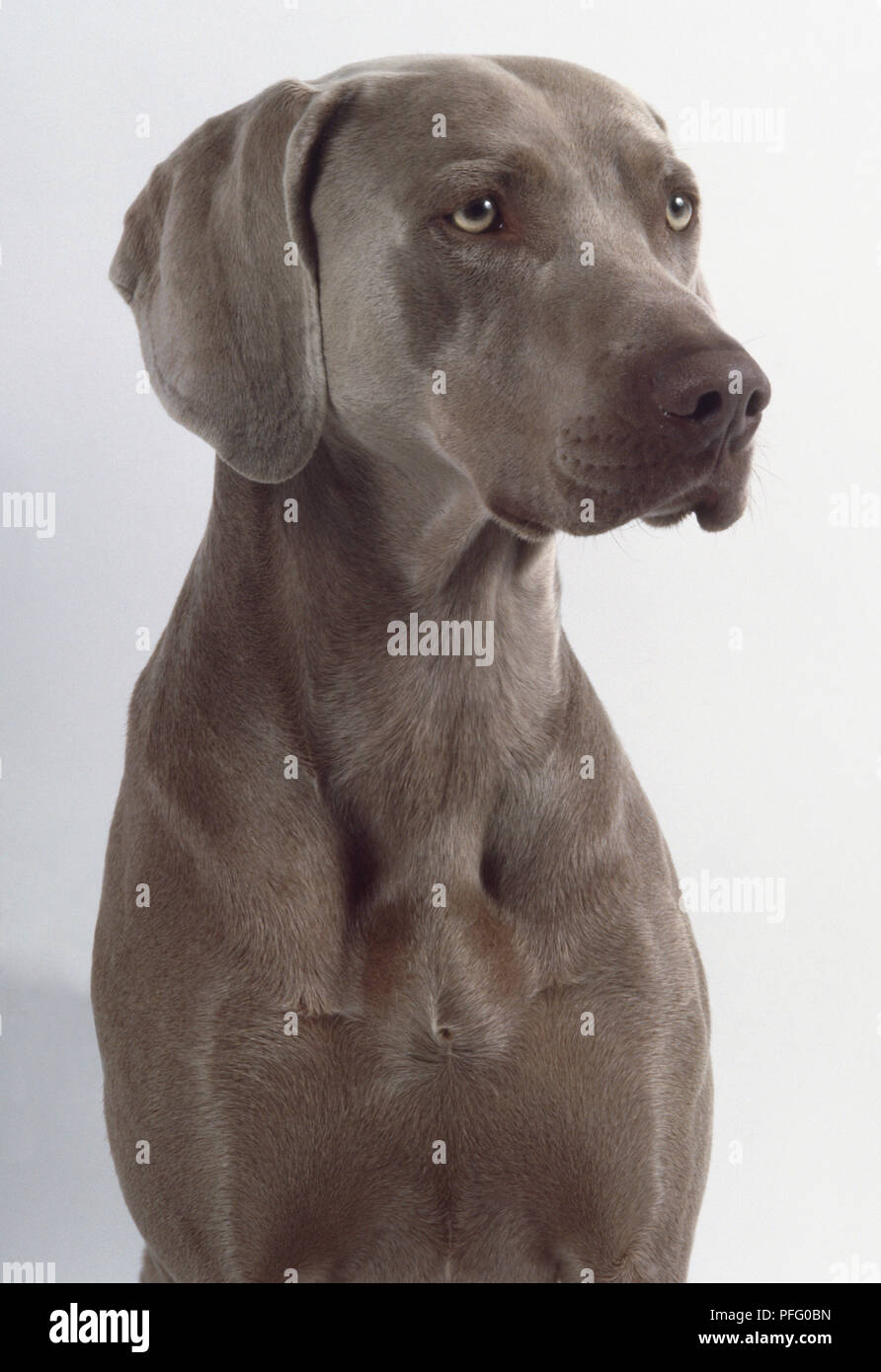 Una De Pelo Corto Perro Weimaraner Gris Oscuro Con Un Hocico