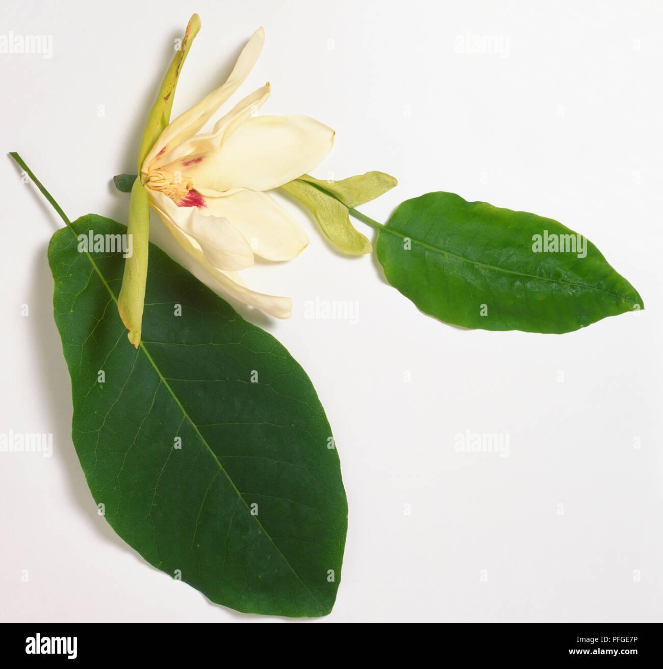 Magnoliaceae Magnolia Ashei Largas Hojas Elipticas Las Hojas