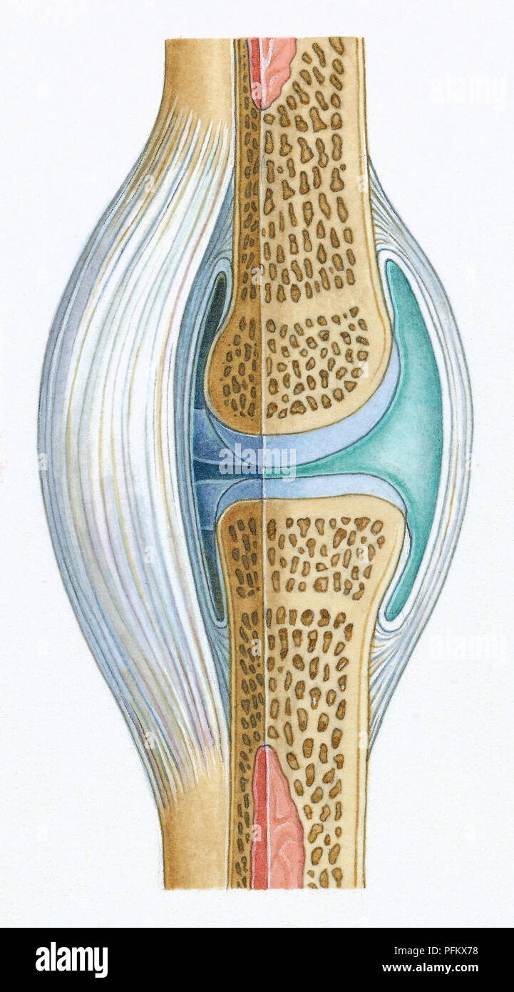 Synovial Joint Imágenes De Stock & Synovial Joint Fotos De Stock - Alamy