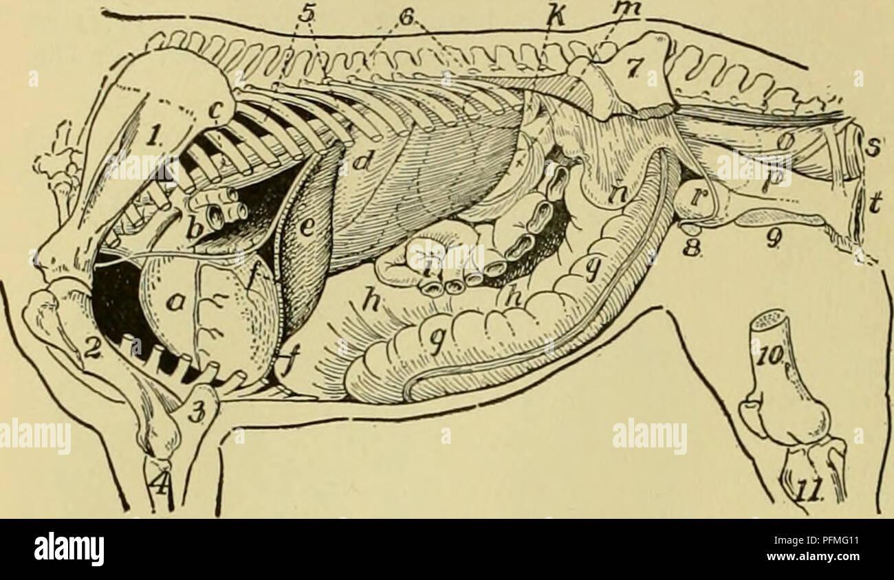 . Cyclopedia de animales de granja. Animales domésticos; productos de origen animal. 18 FISIOLOGÍA OP ANIMALES DOMÉSTICOS actuar durante varias horas el almidón. Hofmeister Ellenberger y espera que la conversión del almidón se lleva a cabo en el estómago a través de la elaboración de fer- ciones del propio alimento. La avena produce dicha enzima; se destruye por ebullición. Estos hechos ayudan a explicar la utilización universal de avena como un alimento y su digestibilidad disminuye cuando se hierven. Fig. 19. Vista lateral de la confe] órganos de mare. 1, escápula, húmero;; 2, 3; 4, ulna, radius, costillas; 5; 6; 7, columna vertebral, hueso ilíaco; 8, pubis; 9; 10, isquión fémur Foto de stock