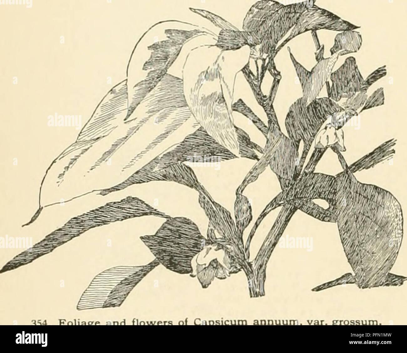 """. Cyclopedia of American horticultura, compuesto de sugerencias para el cultivo de plantas hortícolas, las descripciones de las especies de frutas, hortalizas, flores y plantas ornamentales vendidos en los Estados Unidos y Canadá, junto con los Esbozos Biográficos y geográficos. Jardinería. 354. Y flores Foliaee oi Capsicum annuum Ruby Kmg Golden King brasileño dorada vertical vertical Var abbreviaturn bquash 1-1 n ili i' '' )/"""""""""""" Velo G luteiim 1 1111 I s,,,tiri,, estaré ovales 2-4 en long III lull li I 1! I I I I 1 th longei aslongasor m tilt 1hii li 1 ii m i inodoro varían mientras este turbinate Foto de stock"""