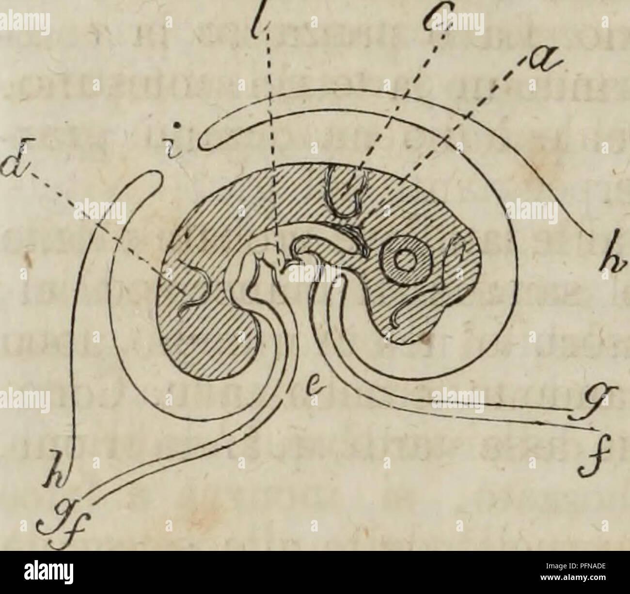 . Delle funzioni riproduttive degli animali en complemento all'edizione italiana del corso elementare di Zoologia del signor Milne Edwards. Animales - reproducción; la zoología. 56. Si chiude datamente ZOOLOGIA (FI< l. Fk 37. Fiyura teorica d'un pulcino en Corso di sviluppo (*). 37). De tal modo ha origine il sac- co dell'awmos, ONU contenente liquido nel quale sta im- merso il corpo dell'embrio- ne. La lámina inferiore dello stesso foglietto col successivo differenziarsi delle sue cel- lule alimentari forma le pa- reti dell'addome e del tronco, e gli organi più importanti della vita animale. Il Imagen De Stock
