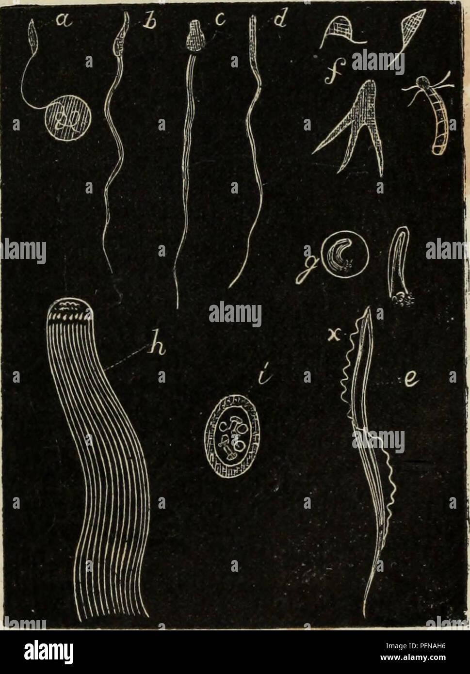 . Delle funzioni riproduttive degli animali en complemento all'edizione italiana del corso elementare di Zoologia del signor Milne Edwards. Animales - reproducción; la zoología. FINZIONI RIPRODUTTIVE. i 9 tura glandulosa, oh, quando uè sono prive, accade talvolta che anu porzione distinta del canal deferente que prenda- sta struttura, come si osserva ne' Cavalli. Il seme o sperma è un liquido denso più dell'acqua di aspetto lattiginoso, dal qual carattere is già può travedere ciò che vien confermato dall'osservarlo ad onu microscopio sufficiente ingrandimento col : cioè la sua composizione di Imagen De Stock