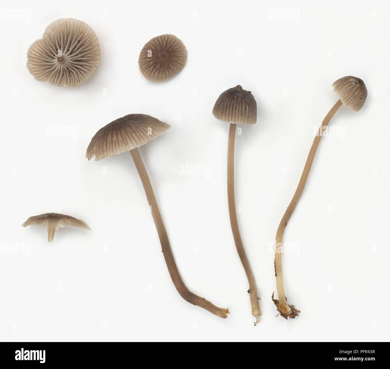 Ejemplos de Mycena cinerella arqueado (capó) Foto de stock