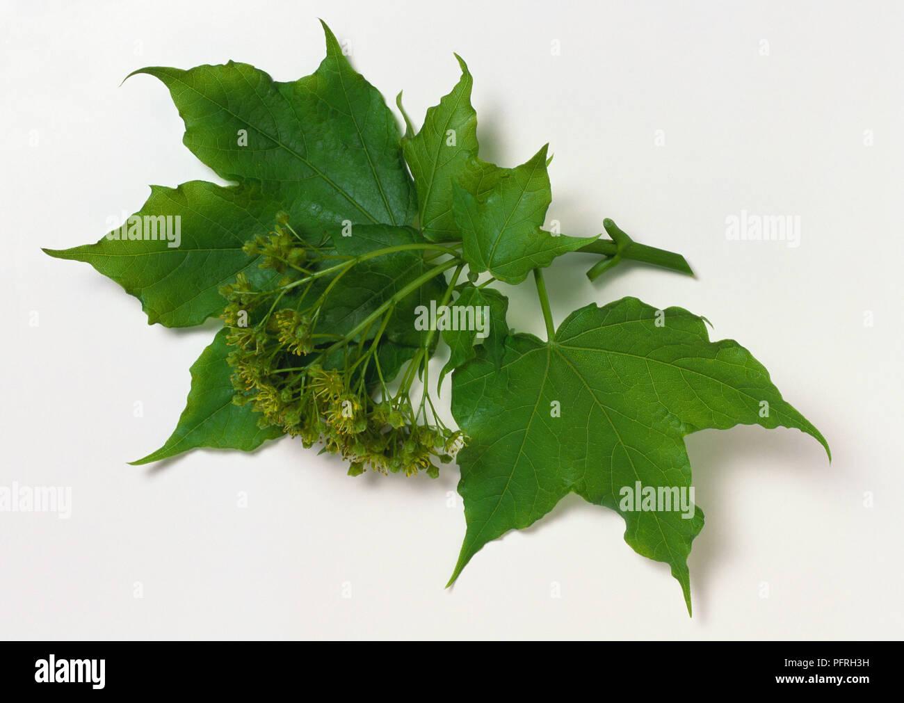 Resultado de imagen de Acer lobelii
