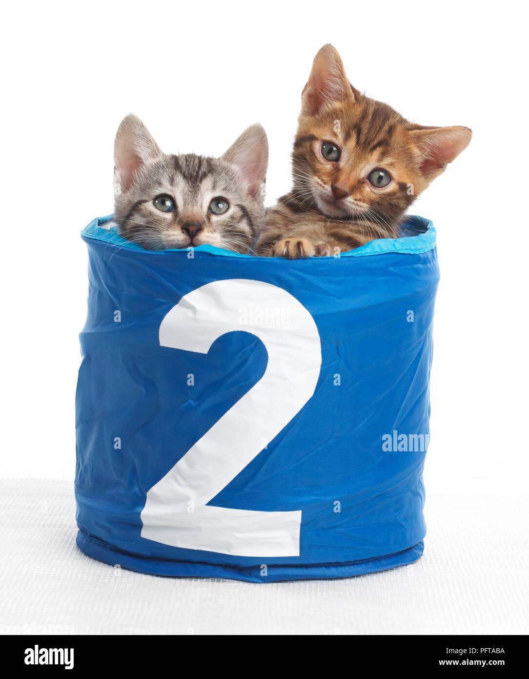 Gatitos en una cesta con el número 2 en la parte delantera, Bengala y British Shorthair cruz gatitos, 5 semanas de edad. Foto de stock