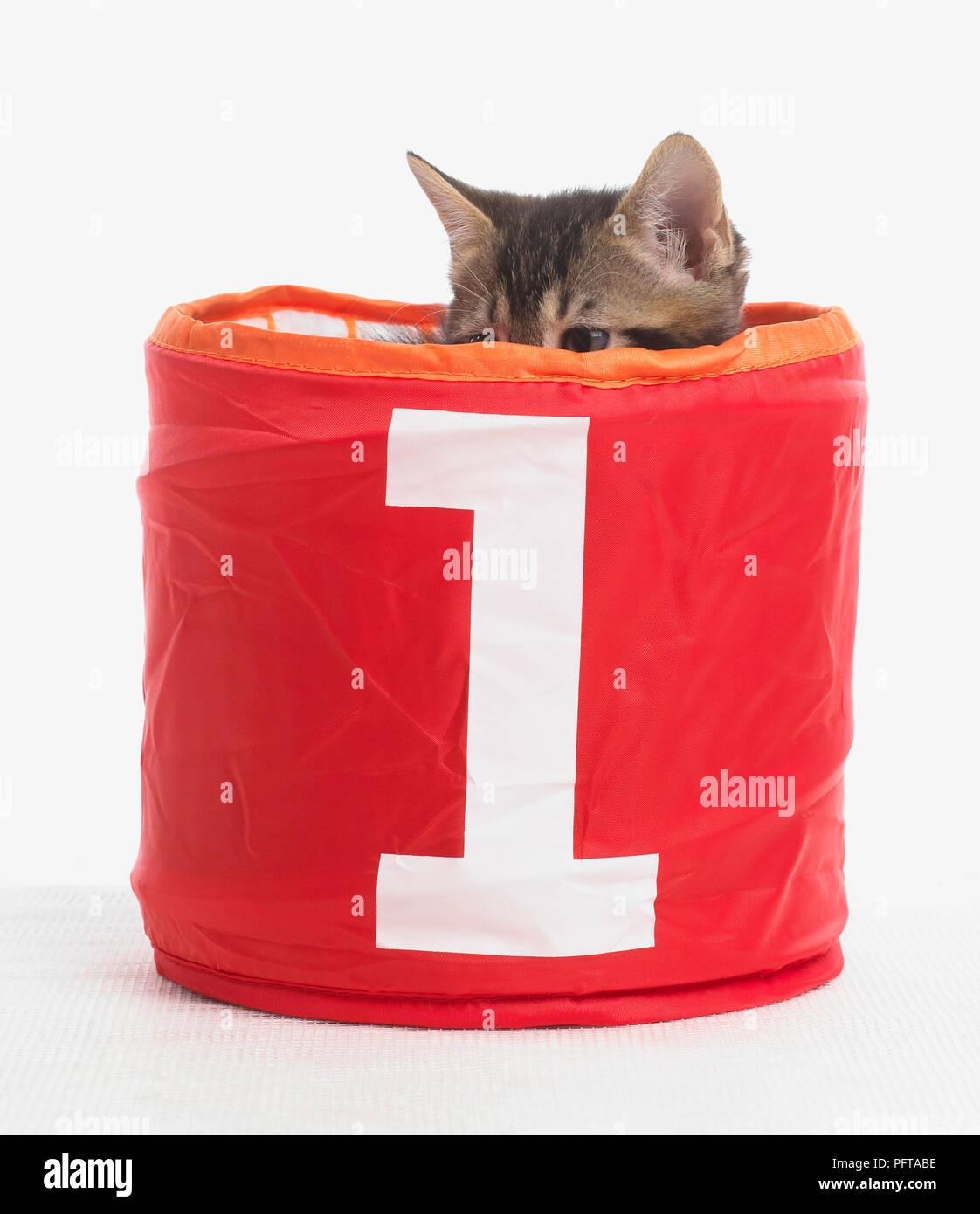 Gatito en la cesta con el número 1 en la parte frontal, Bengala y British Shorthair cruz gatitos, 5 semanas de edad. Imagen De Stock