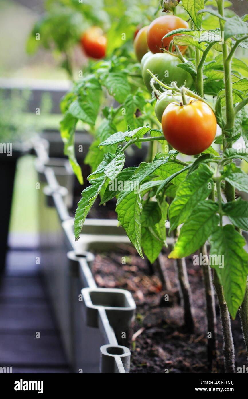 Contenedor De Jardinería De Verduras Huerta En Una Terraza