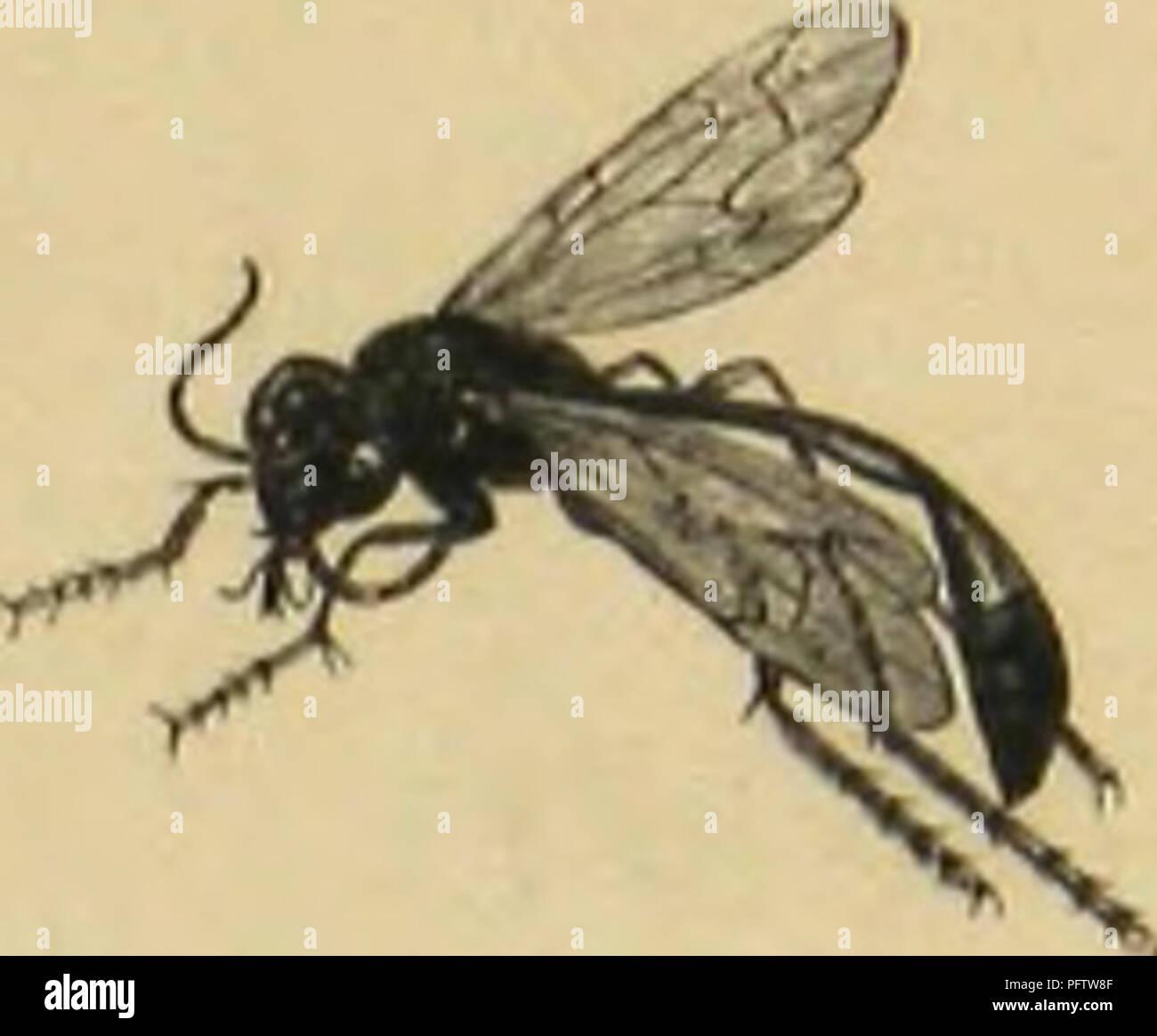 . Instintos MeÌtamorphoses mÅurs et des Insectes (insectes, arachnides crustaceÌs myriapodes,,). Los insectos; Insectos; Myriapoda; Arachnida; Crustacea. AMMOI'UII.K DES SAULES (Ammophita sabulosa]. porte une grosse chenilla, la place dans la petite loge, Díaz©plantean Åuf onu, puis avec un petit caillou et des granos de sable, il mure exactement l'orificio trou de hijo, faisant disparaître avec un soin infini toute trace de hijo travail. Toutes les espèCôtes d'Ammophiles observées dans leurs costumbres des chenilles prennent pour nourrir leurs larves. Dans les régiones chaudes du monde se rencontrent des Sph Foto de stock