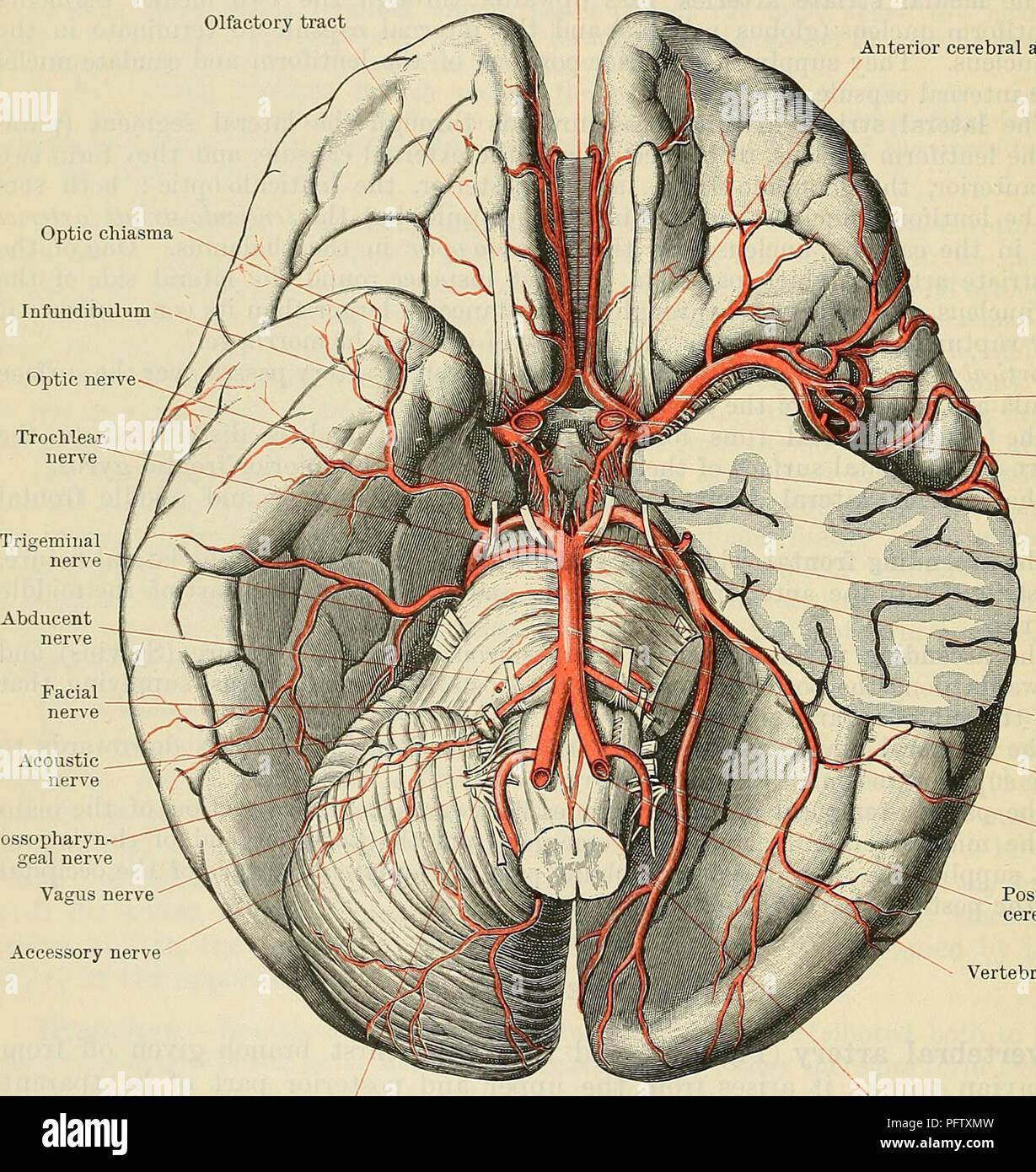 Occipital Nerve Imágenes De Stock & Occipital Nerve Fotos De Stock ...