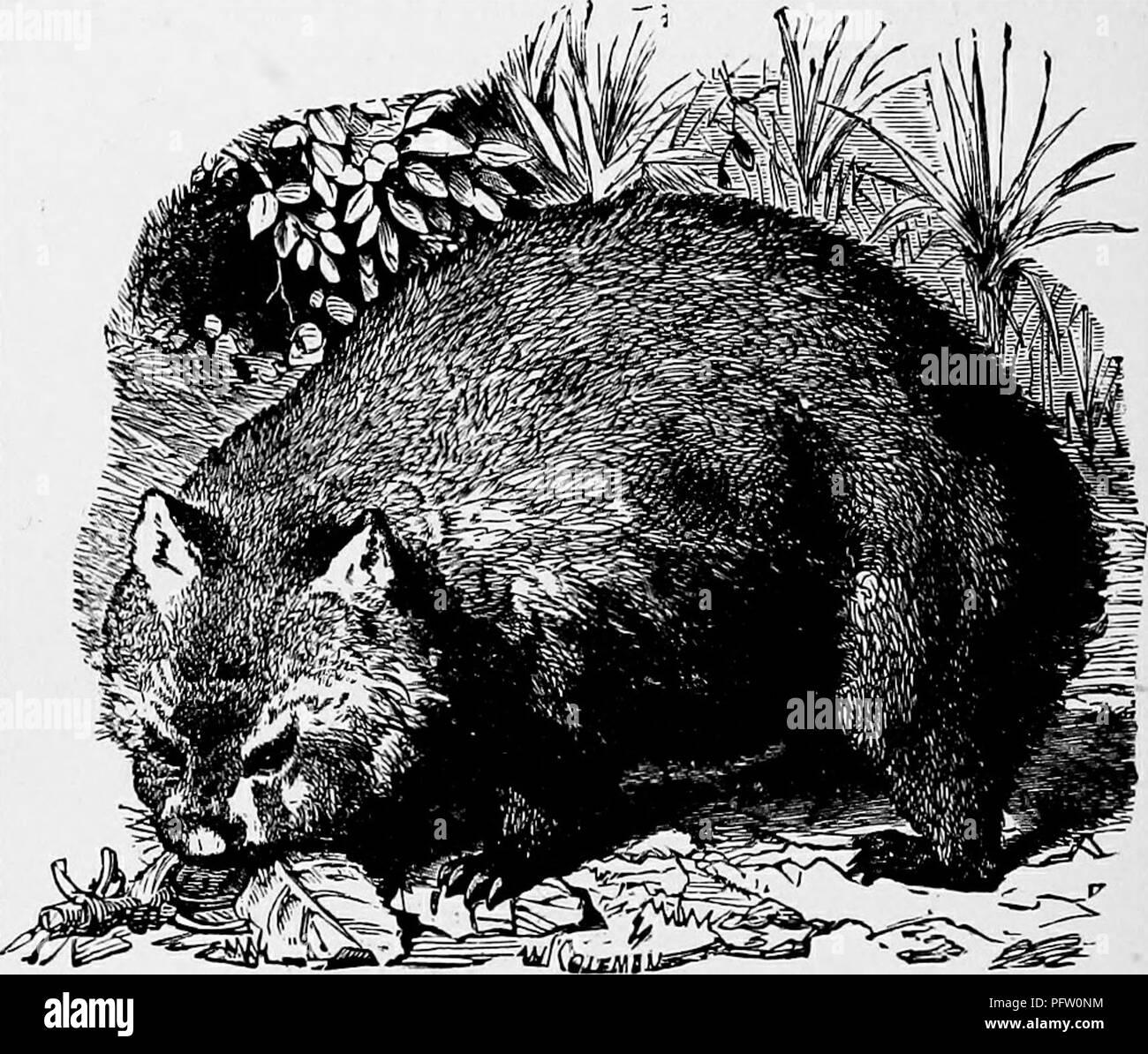. La popular historia natural . La zoología. Ii6 el wombat. El Wombat, tejón o australianas, como popularmente se le llama a los colonos, es tan singularmente a diferencia de los precedentes y subsecuentes a los animales en su aspecto y hábitos, que bien podría suponerse que pertenecen a muy distintos. Como podría ser imaginado desde su cuerpo pesado y patas cortas, el wombat no es un animal activo, pero camina junto a su propio ritmo, con un fuerte rolling waddle o cojear, como el andar de un oso muy gordo. Se encuentra en casi todas partes de Australia. El pelaje de los Wombat es cálido, largas y muy duras para Foto de stock