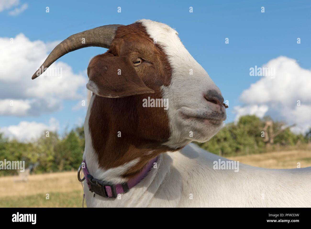 Cabeza de un castrado 'capones' cabra Boer mascota con un collar de color púrpura y buenos cuernos, Berkshire, Agosto Imagen De Stock