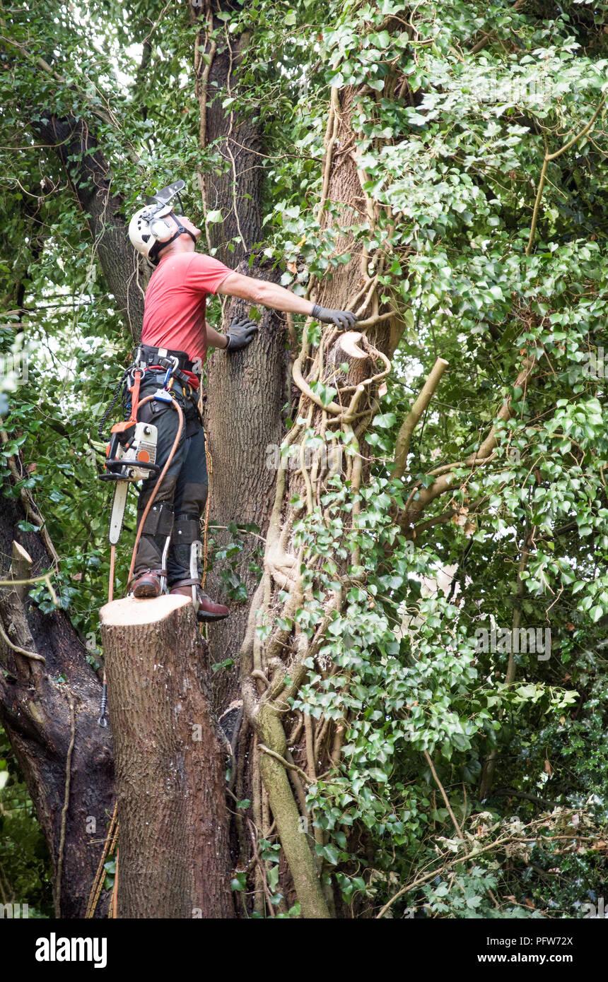 Tree Surgeon masculino con una motosierra para evaluar un árbol de tala Imagen De Stock