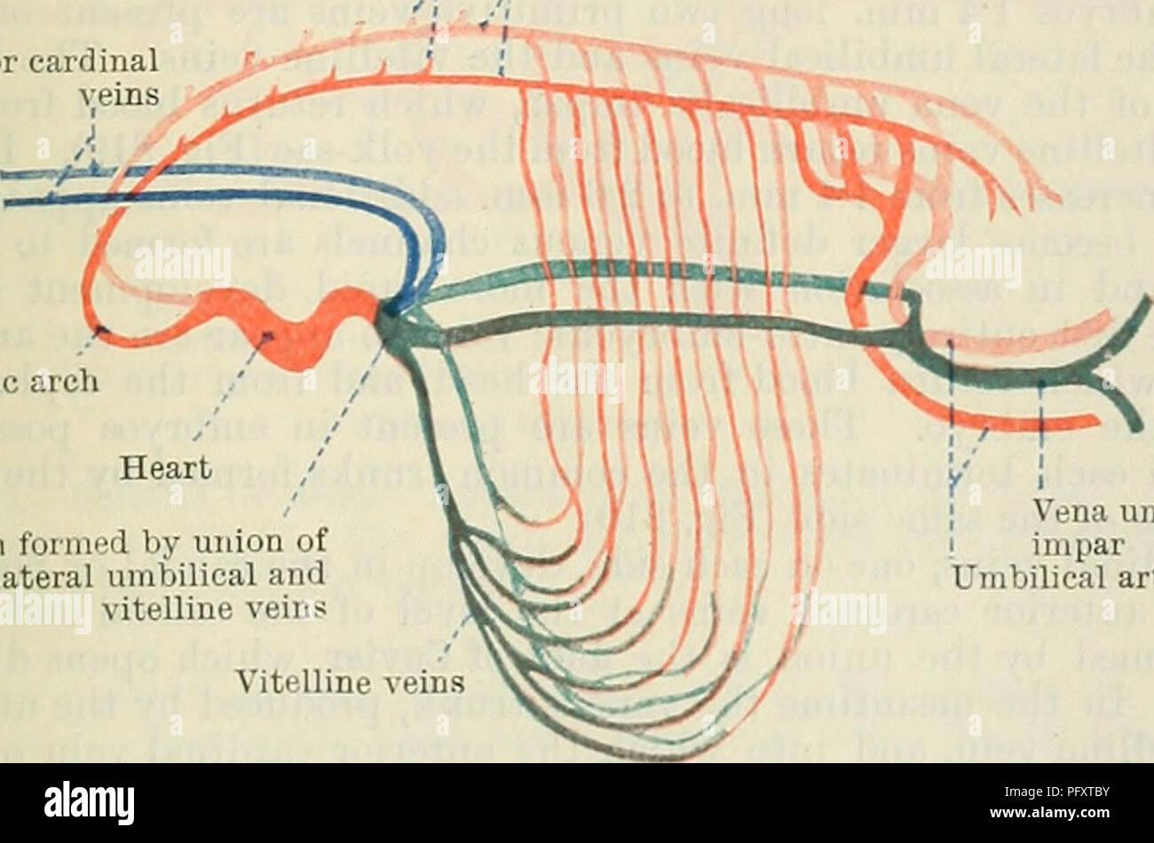 Umbilical Arteries Imágenes De Stock & Umbilical Arteries Fotos De ...