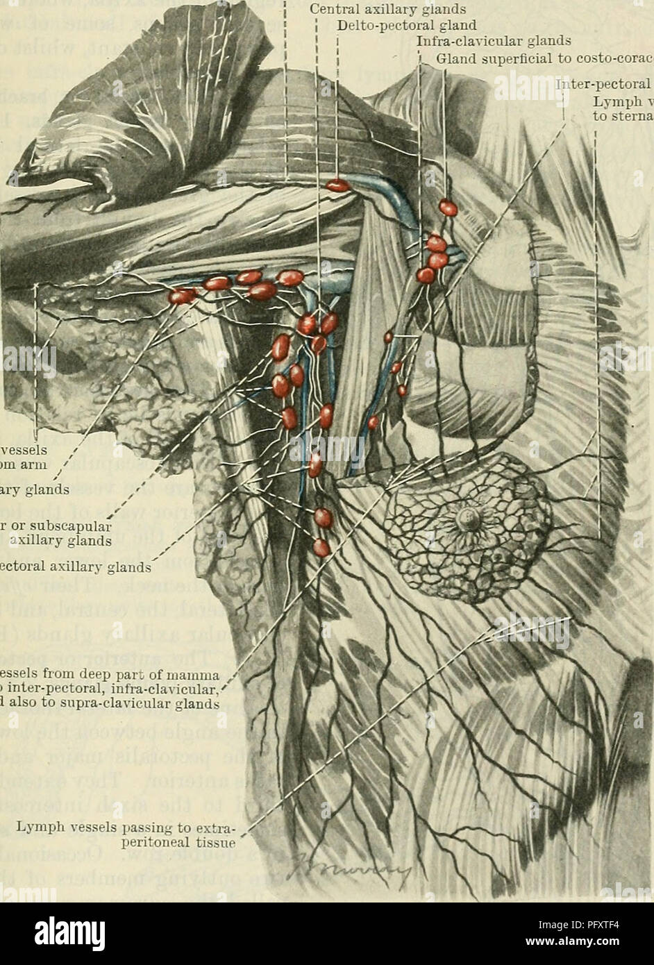 Ulnar Arteries Imágenes De Stock & Ulnar Arteries Fotos De Stock - Alamy