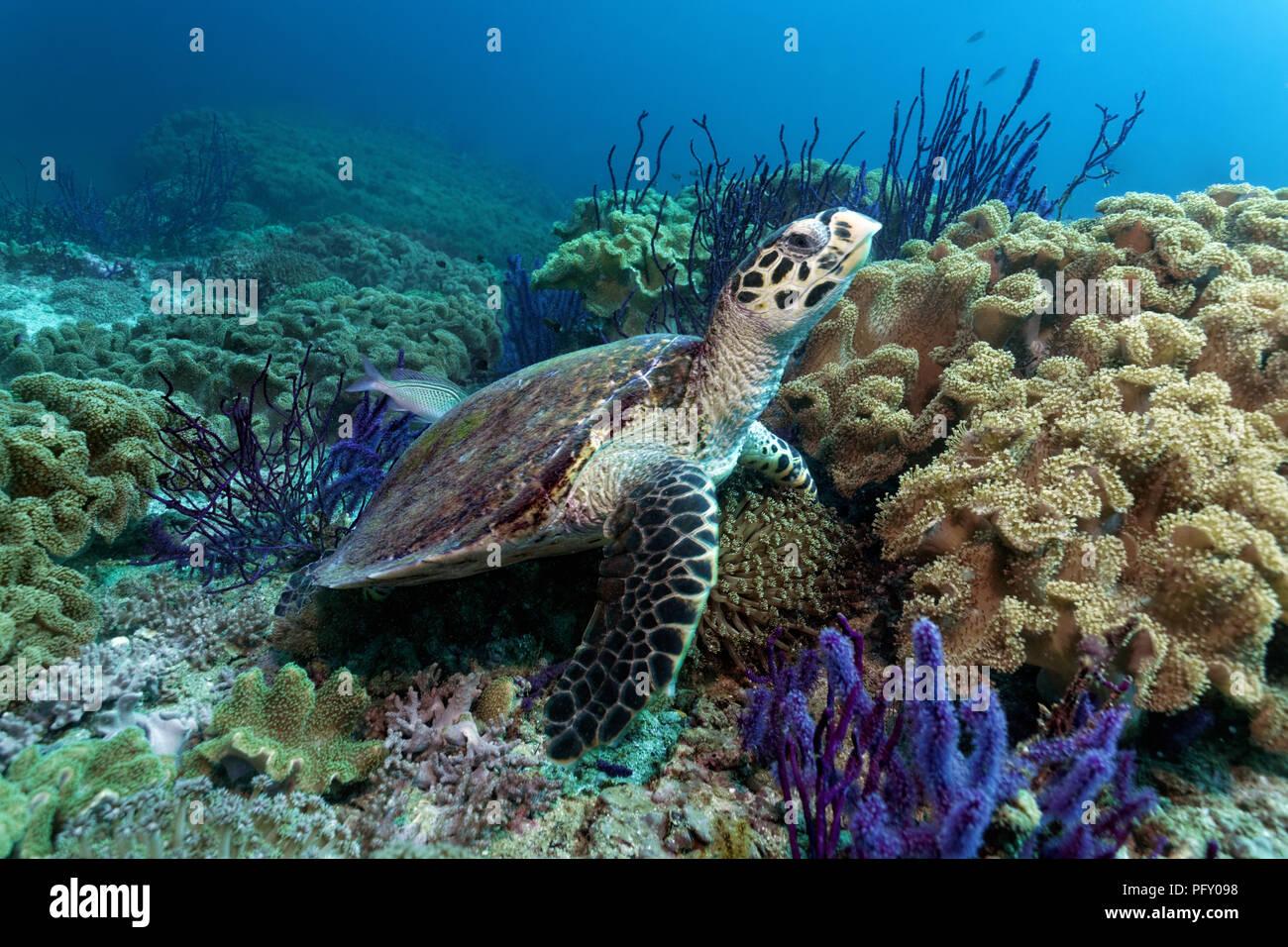 Tortuga carey (Eretmochelys imbricata), entre arrecifes de coral en el mar Rojo (látigo Ellisella sp.) y correosa corales Foto de stock