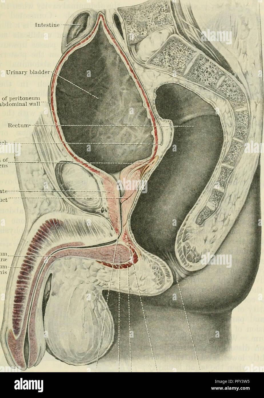 Pubic Symphysis Imágenes De Stock & Pubic Symphysis Fotos De Stock ...