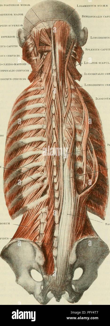 Resultado de imagen para musculos de la espalda iliocostal