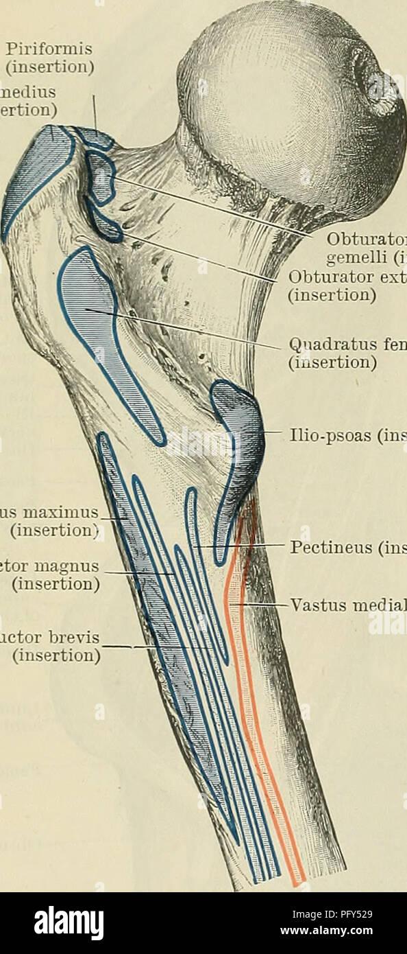 Piriformis Muscle Imágenes De Stock & Piriformis Muscle Fotos De ...