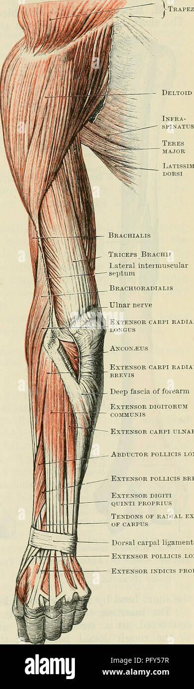 Ulnar Artery Imágenes De Stock & Ulnar Artery Fotos De Stock - Alamy