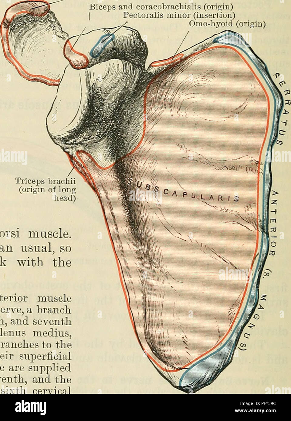 Serratus Anterior Muscle Imágenes De Stock & Serratus Anterior ...
