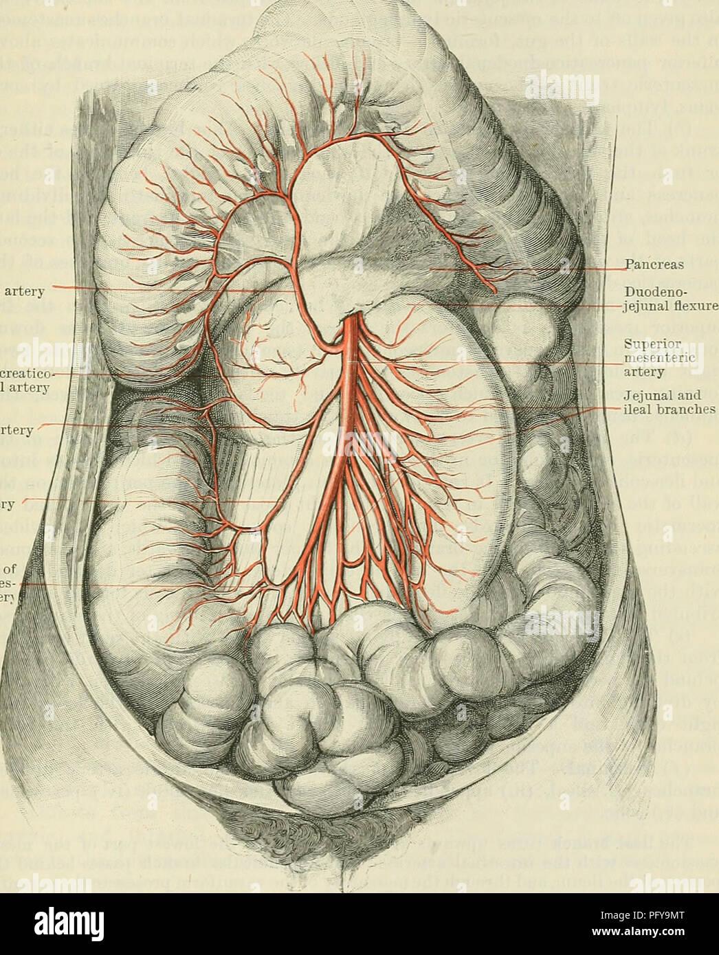 Superior Mesenteric Inferior Mesenteric Artery Imágenes De Stock ...