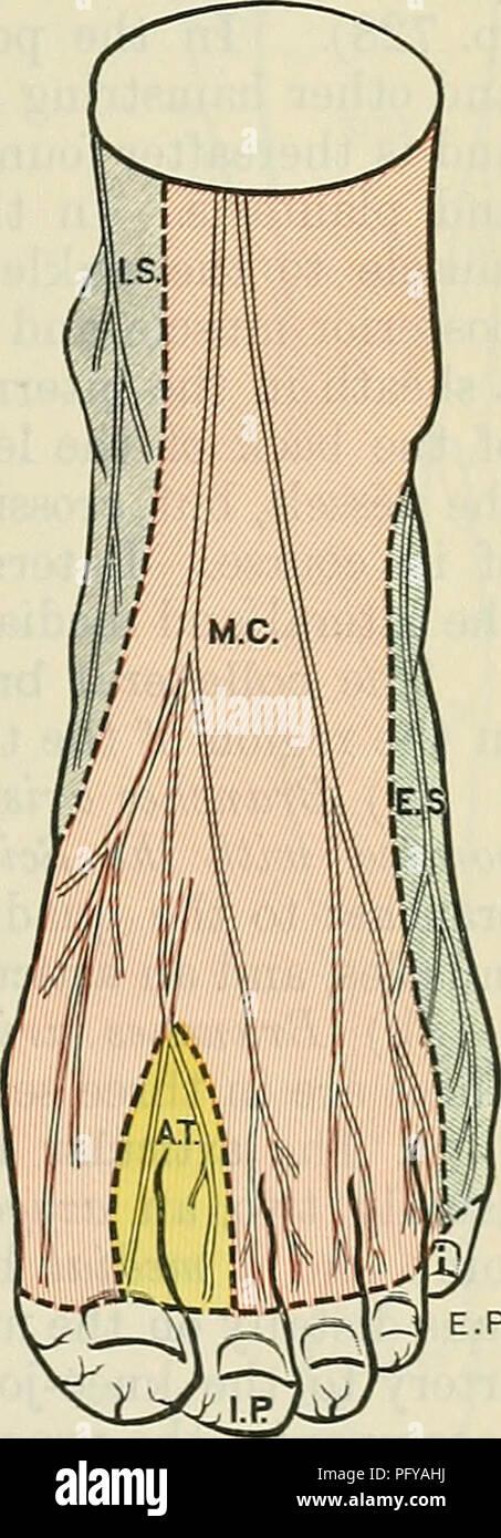 Peroneal Artery Imágenes De Stock & Peroneal Artery Fotos De Stock ...