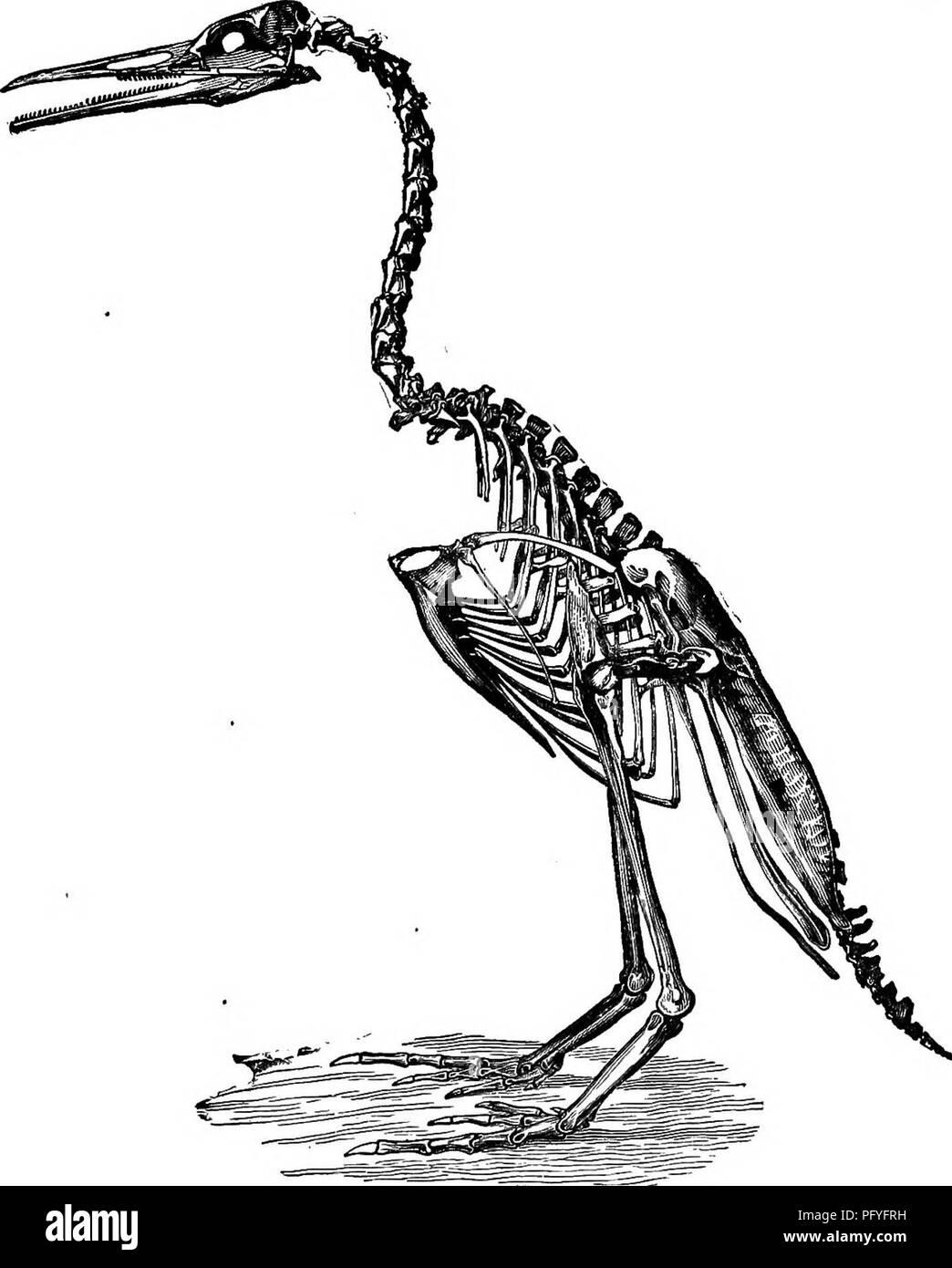 . Clave para las aves de América del Norte. Contiene una reseña concisa de cada una de las especies de aves que viven y fósiles en la actualidad conoce desde el continente al norte de la frontera de México y de los Estados Unidos, inclusive de Groenlandia y de Baja California, con el que se incorporan la ornitología en general: un resumen de la estructura y clasificación de las aves; y la ornitología de campo, un manual de recogida, preparación y conservación de las aves. Las aves; aves. Definición de BIEBS. 63 -los fósiles, llamados así porque supone que indican la presencia de aves por sus impresiones de pie, se descubrieron alrededor del año 1835 en la Tria Foto de stock