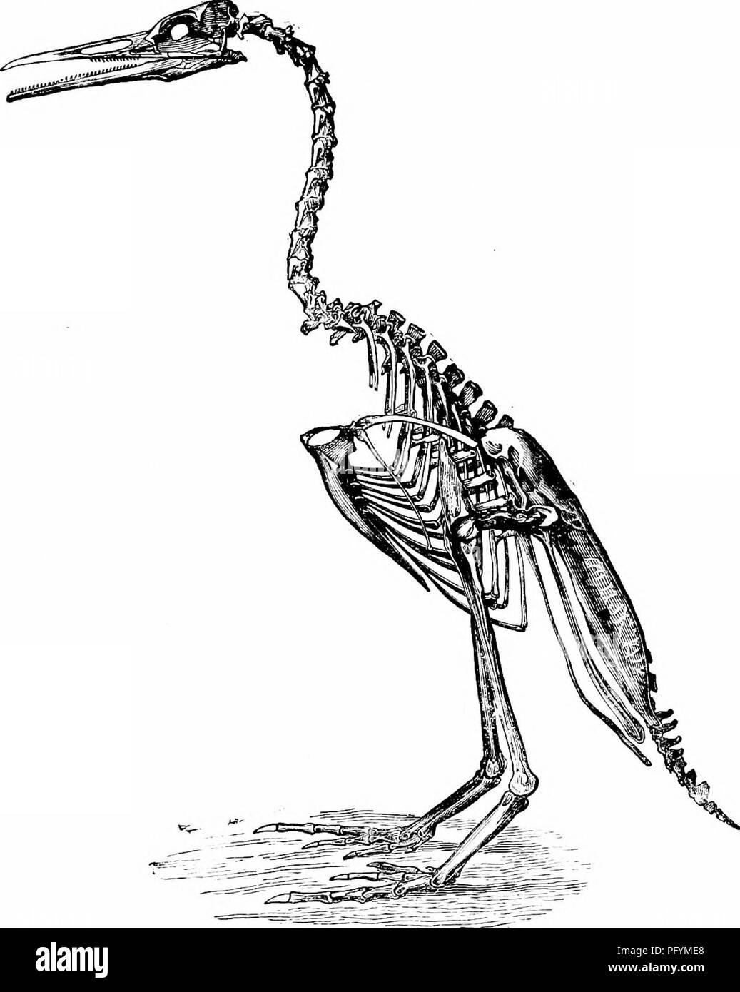 """. Clave para las aves de América del Norte. Contiene una reseña concisa de cada una de las especies de aves que viven y fósiles en la actualidad conoce desde el continente al norte de la frontera de México y de los Estados Unidos, inclusive de Groenlandia y de Baja California, con el que se incorporan la ornitología en general: un resumen de la estructura y clasificación de las aves; y la ornitología de campo, un manual de recogida, preparación y conservación de las aves. Las aves; aves; 1887. Definición de aves"""". 63 icnitas fósiles, el así llamado porque supone la presencia de aves iudicate hy tlicir impresiones de pie, se descubrieron la yea abtiut Foto de stock"""