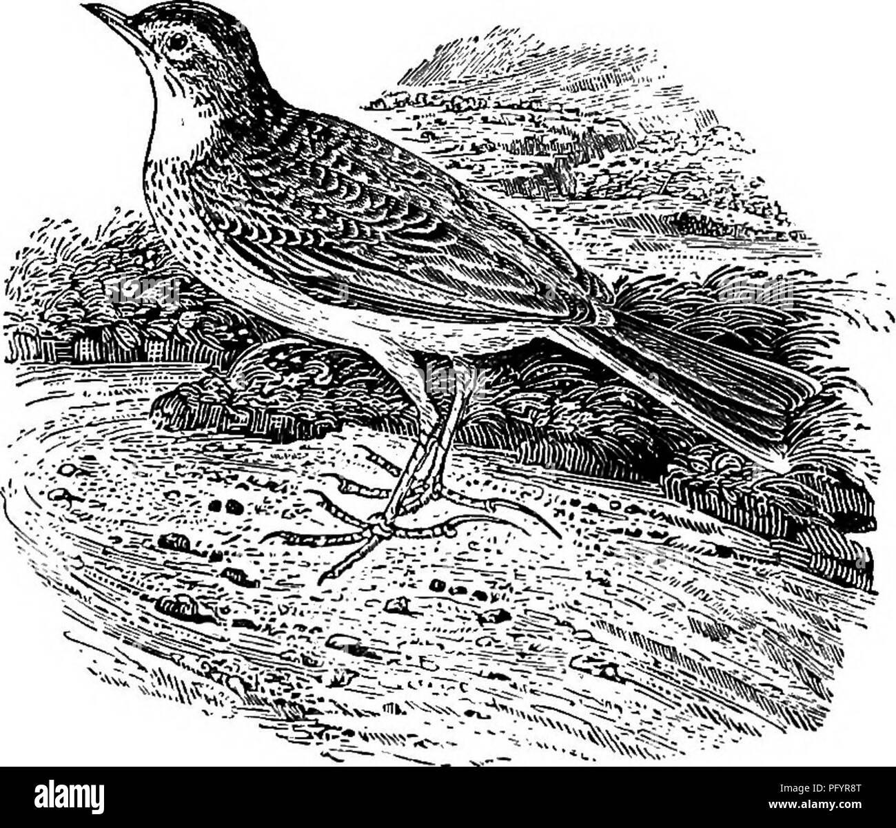 . Nuestros migrantes estivales. Una cuenta de las aves migratorias que  pasan el verano en las Islas ...