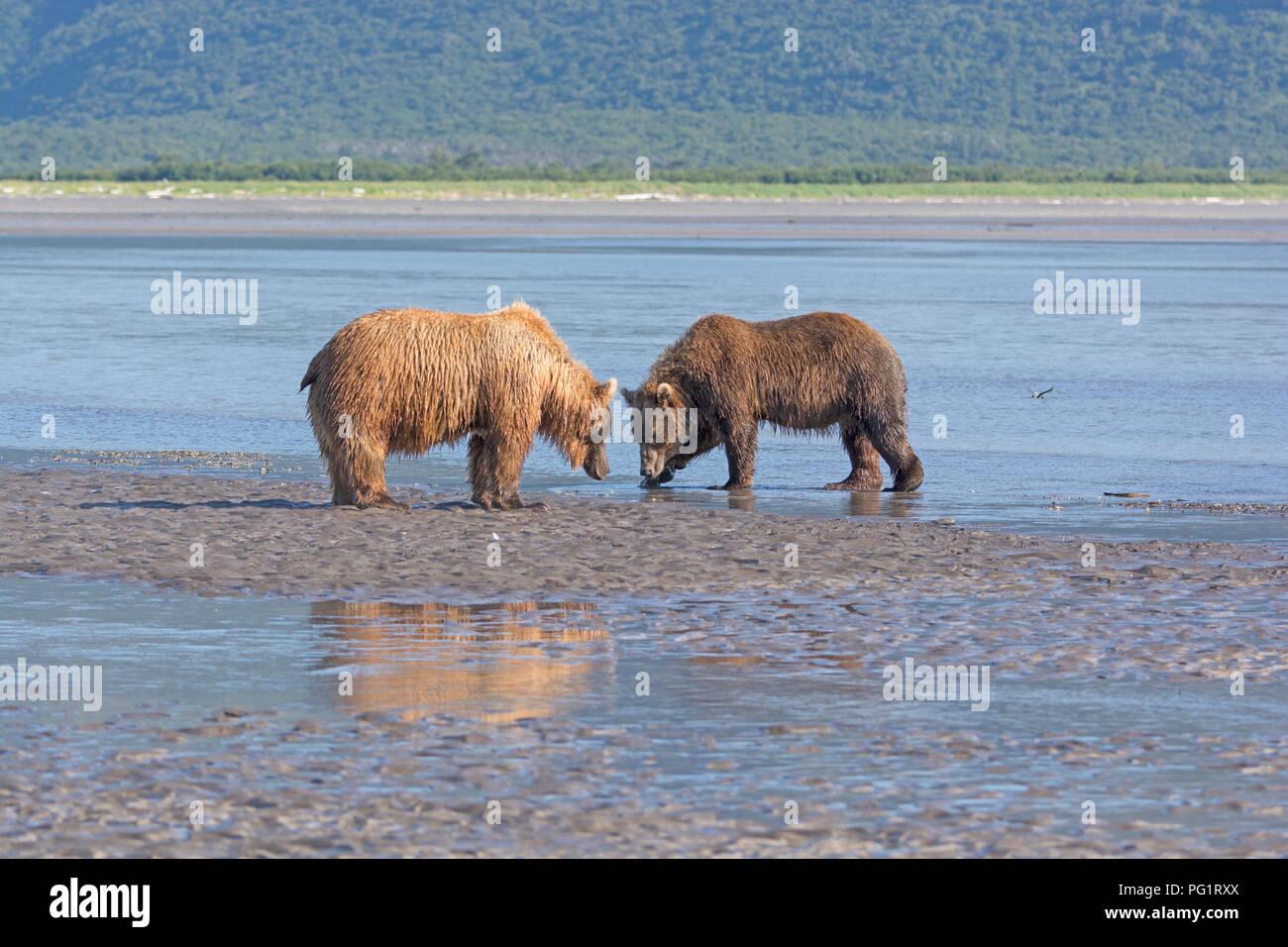 Soportar el enfrentamiento en la selva en Hallo Bay en el Parque Nacional Katmai en Alaska Imagen De Stock