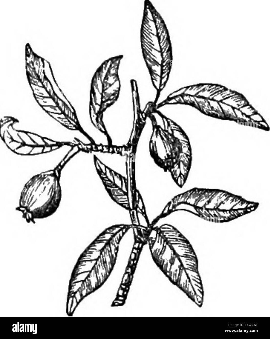 """. Los árboles y arbustos : una versión abreviada del Arboretum et fruticetum britannicum : contienen los hardy schrubs y árboles de Gran Bretaña, nativos y extranjeros, y científicamente descrito popular : con su propagación, cultivo y usos y grabados de casi todas las especies. Los árboles, los arbustos, los bosques y la silvicultura. XXVI. bosa^cejE : py'Rus"""". 421. 763. F. {c.) *alTif61ia. """"F 2. (P. c.) SALVIFO^LIA Dec. la SAGE-hojas, o Aureliano, Orleans, Pear Tree. IdnUification. Dec. Fl. Fr., 631., en una nota; Prod., 2, pág. 634. ; Don Mill., 2, pág. 622. Synonyme, Poirler Sauger D'Ourch en BibL UBS. Econ. Ma Foto de stock"""